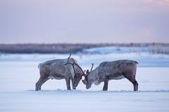 森林地北美驯鹿wreslting的时间 免版税库存图片