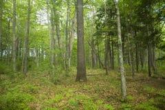 森林地板在缅因 免版税库存照片