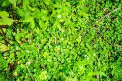 森林地板小绿色弄湿了叶子 免版税库存照片