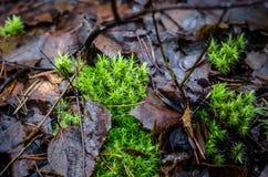 森林地板mith青苔和叶子在芬兰 免版税图库摄影