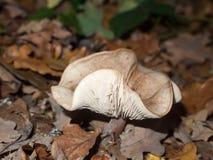 森林地森林地板蘑菇棕色秋天的盖帽白色和 免版税库存照片