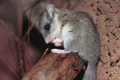 森林地睡鼠 库存图片