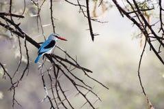 森林地翠鸟 库存照片