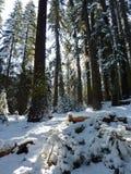 森林场面冬天优胜美地 库存图片