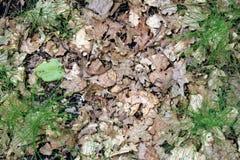 森林基体-去年& x27; s橡木叶子和新鲜的绿色射击 库存图片