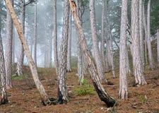 森林小山有薄雾的杉木夏天 免版税库存图片