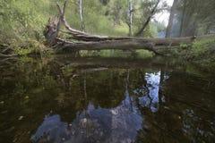 森林小河和残破的树 免版税库存图片