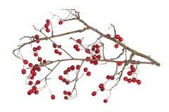 森林山楂树冬天干燥分支用被隔绝的红色莓果 免版税库存图片