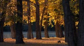 森林山秋天风景 在一个白杨树树丛之间的晴朗的边缘有在温暖的秋天落日的光芒的金黄叶子的 免版税库存图片