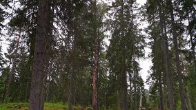 森林岩石小山出色的意见与绿色松树的在天空蔚蓝背景 股票录像