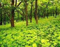 森林年轻人 免版税库存照片