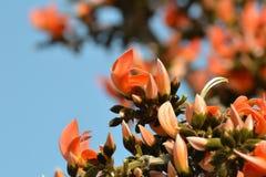 森林拙劣的柚木树/鹦鹉树(布泰亚monosperma)的火焰 免版税库存照片