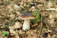 森林新鲜的porcini蘑菇,秋天可口牛肝菌蕈类 狂放的便士小圆面包,等概率圆,porcino 免版税图库摄影
