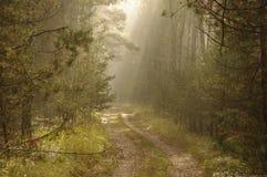 森林早晨。 库存图片