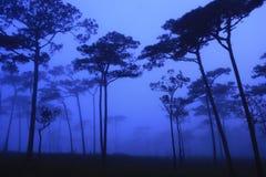 森林早晨杉木 免版税库存照片
