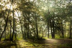 森林早晨杉木 图库摄影