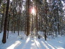森林晴朗的冬天 免版税库存照片