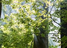 森林有薄雾的日出 免版税库存图片