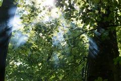 森林有薄雾的日出 库存图片
