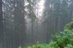 森林有薄雾的杉木 库存图片