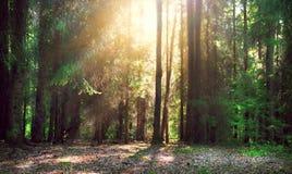 森林有薄雾老 免版税库存照片