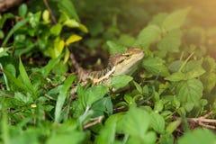 森林有顶饰蜥蜴,动物:爬行动物 库存图片