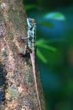 森林有顶饰蜥蜴 免版税库存图片