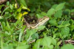 森林有顶饰蜥蜴 免版税库存照片