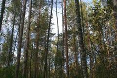 森林杉木俄语 库存图片