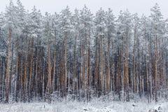 森林杉木冬天 在森林横向射击雪结构树冬天之上 图库摄影