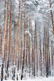 森林杉木冬天 杉木雪 33c 1月横向俄国温度ural冬天 免版税库存照片