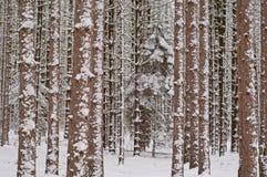 森林杉木冬天 免版税库存图片