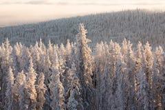 森林杉木冬天 库存图片
