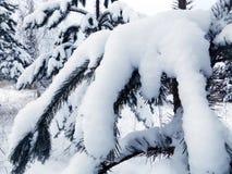森林杉木冬天 库存照片