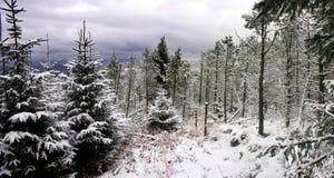 森林杉木场面雪 免版税库存照片