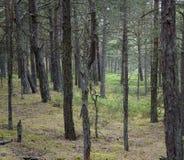 森林杉木夏天 库存照片