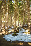 森林杉木春天 库存图片