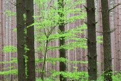 森林杉木春天 库存照片