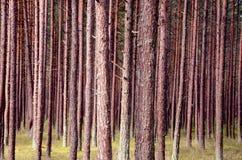 森林杉木树干 免版税库存照片