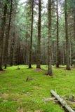 森林杉木瑞典 图库摄影