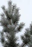 森林杉木的神仙在霜的 免版税库存图片