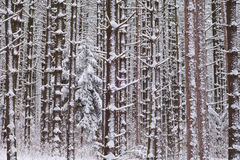森林杉木红色白色 库存图片