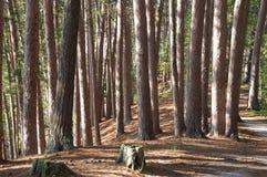 森林杉木红色结构树 库存图片