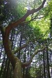 森林杉木阳光 免版税库存图片