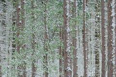 森林杉木雪春天 库存照片