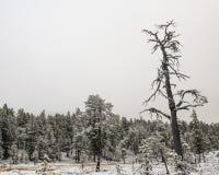 森林杉木雪 免版税图库摄影