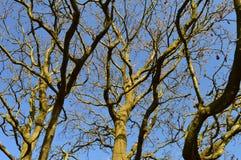 森林杉木顶层结构树 库存图片