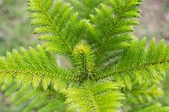森林杉木顶层结构树 免版税库存照片