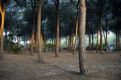森林杉木 免版税库存图片