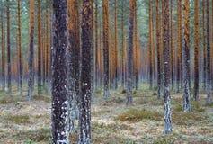 森林杉木 免版税图库摄影